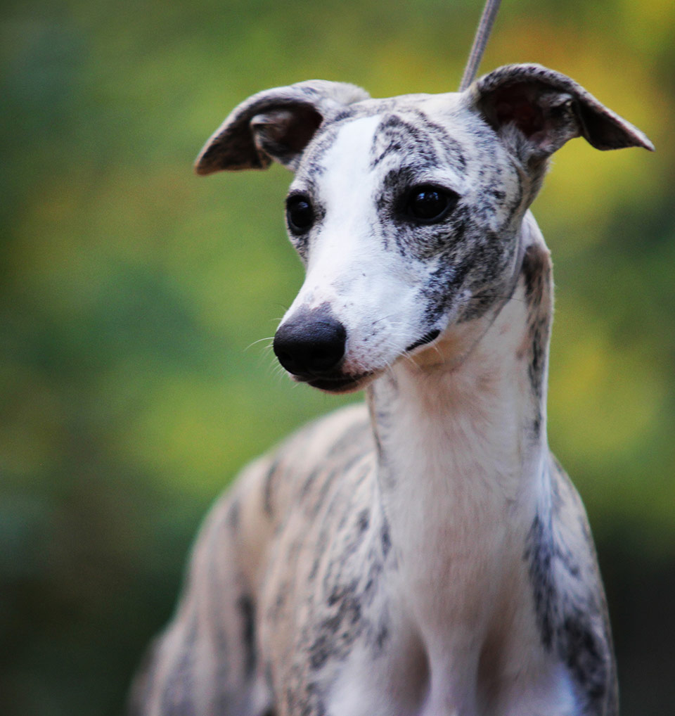 Whippets by Mimi Chill's